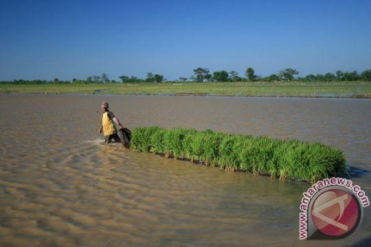 Petani Cirebon terancam gagal panen akibat banjir