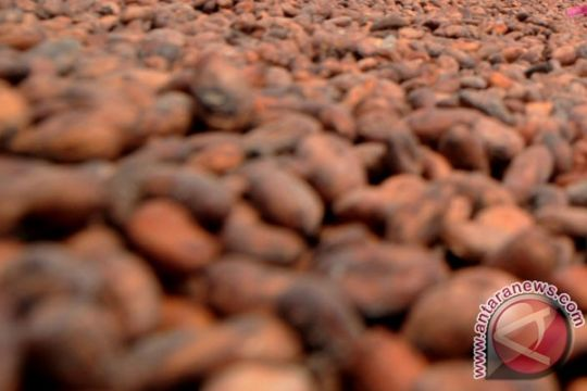 Kakao kuatkan pertahanan ekonomi Sulbar