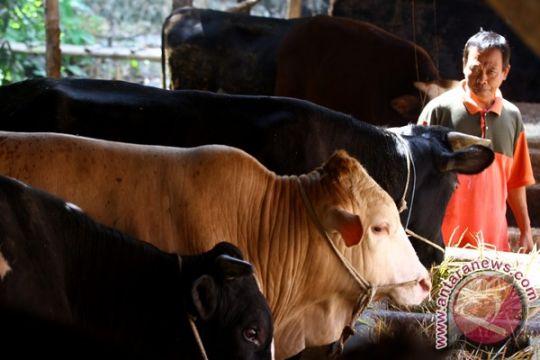 Berdikari jaga ritme impor sapi, agar tidak rugikan peternak lokal