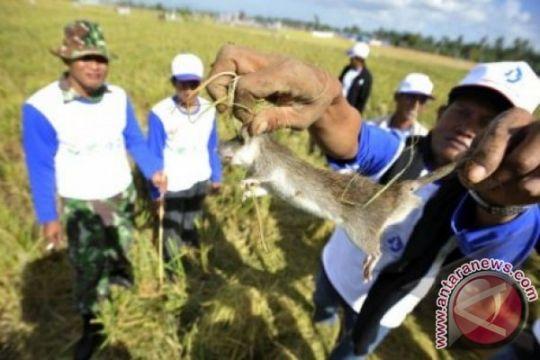 4.506 petani ramai-ramai bantai hama tikus