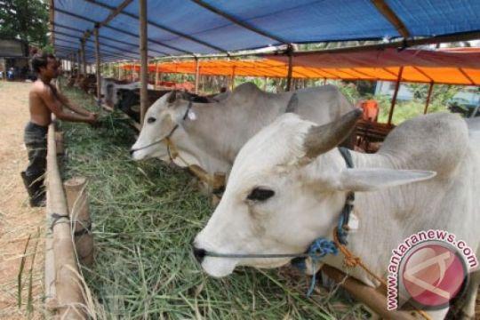 Bupati Langkat dan keluarga kurban 77 sapi