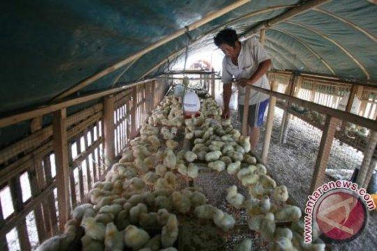 Dinas Pertanian Karawang salurkan 473.900 bibit ayam untuk keluarga miskin