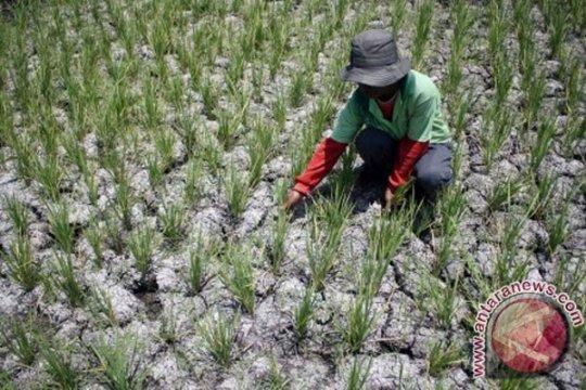 Ribuan hektare sawah di Kulon Progo gagal tanam