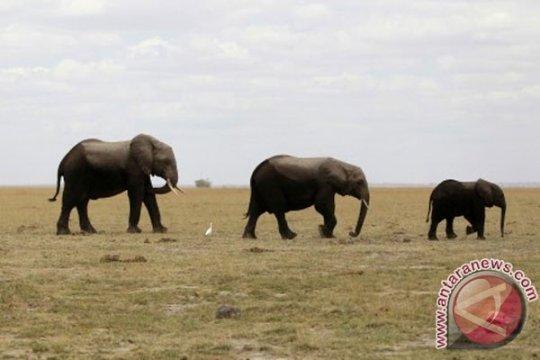 Tanzania sita gading diduga berasal dari 117 gajah liar