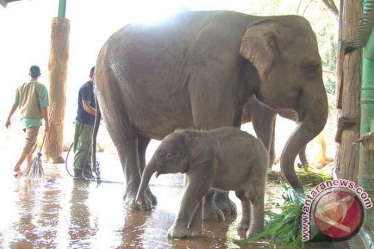 Menhut: gajah  untuk upacara tradisi tidak masalah