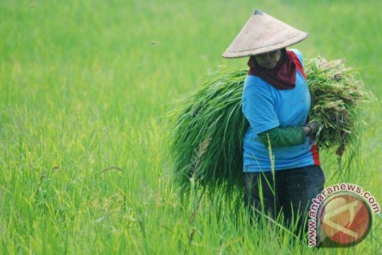 Jagung transgenetik tahan hama pikat petani Probolinggo