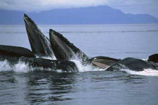 Populasi paus bungkuk baru diidentifikasi di Pasifik
