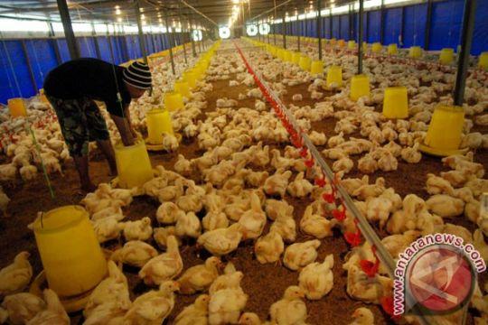 Ratusan ayam di Kabupaten Madiun mati mendadak