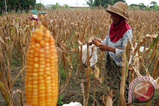 Pemerintah diharapkan benahi penanganan pasca-panen jagung
