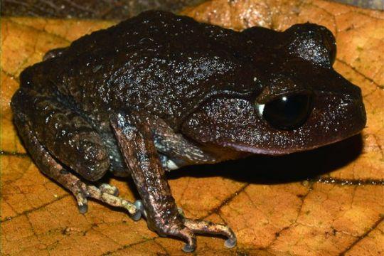 Peneliti LIPI temukan tiga spesies katak baru