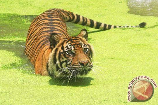 Harimau Bonita sudah masuk hutan