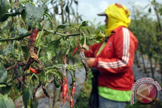 Kemarau petani cabai Indramayu gagal panen
