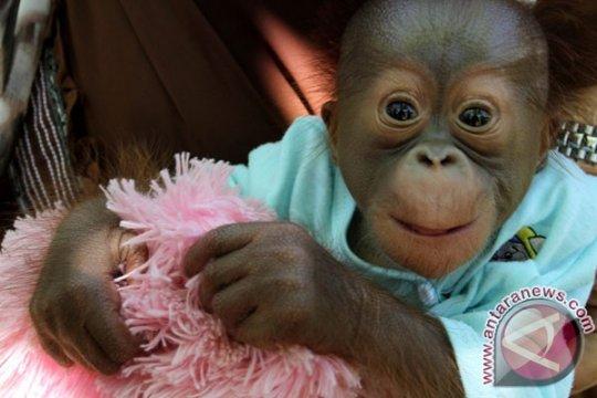 BKSDA Ketapang rawat bayi orangutan korban kebakaran lahan