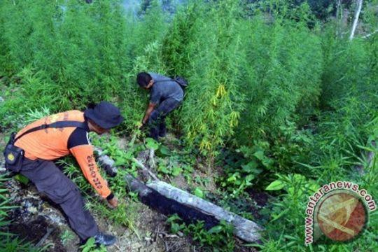 800 ribu batang ganja dimusnahkan di Aceh Besar