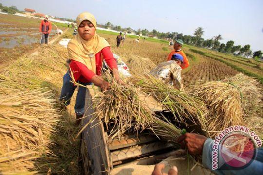 Hasil panen padi sejumlah daerah meningkat, kata Mentan
