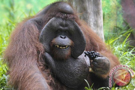 Taman Safari Indonesia terima dana konservasi orangutan