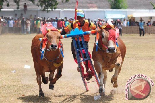24 pasang sapi Madura berebut Piala Presiden