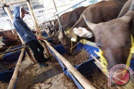 Meski harga sapi kurban naik, permintaan meningkat 20 persen