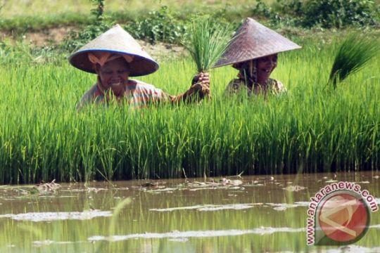 Petani Lampung Timur sulit dapatkan pupuk