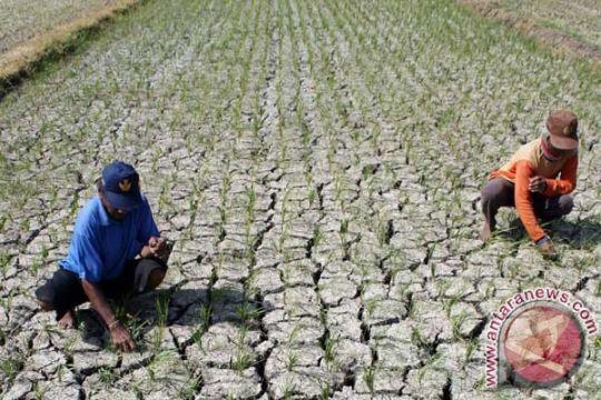 400 hektar sawah di Kupang dilanda kekeringan