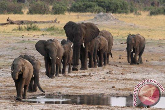 Pria Italia tewas terinjak gajah di Kenya