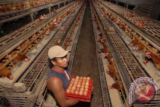 FAO kembangkan aplikasi untuk peternak ayam petelur