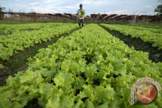 Harga sayuran naik, petani bergairah di awal tahun