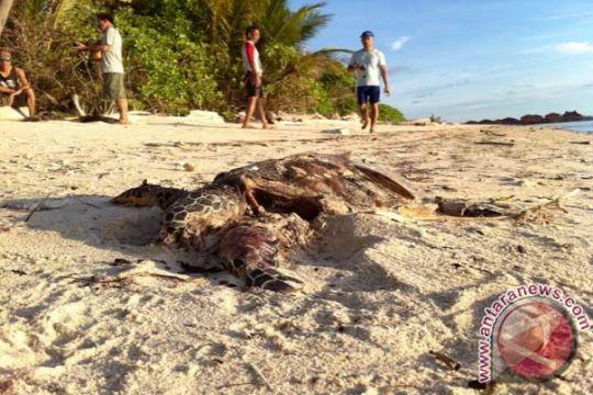 Plastik ditemukan di perut penyu mati di Bali