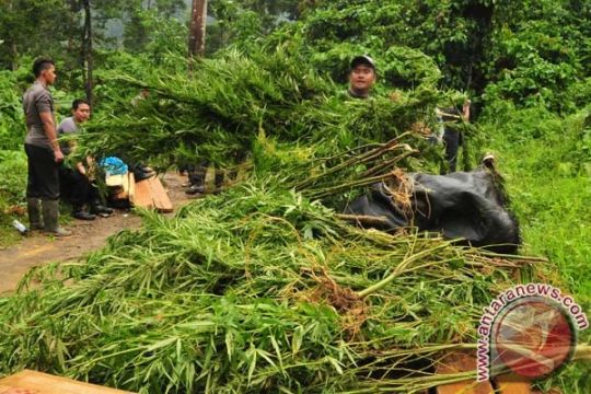 100 pohon ganja ditemukan di pekarangan rumah warga
