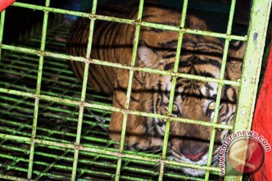 Populasi Harimau Sumatera diperkirakan tinggal 150 ekor