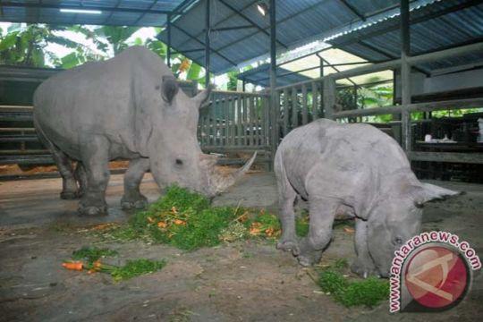 Badak putih langka lahir di Bali Safari