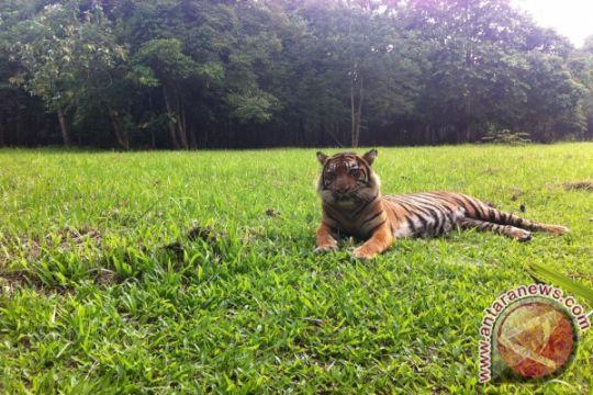 Mengantar harimau sumatera ke rumah baru