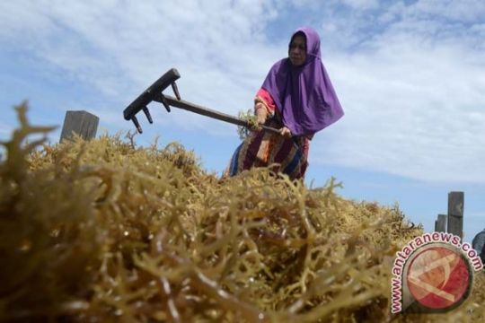 Dirjen: 85 persen rumput laut di dunia berasal dari Indonesia