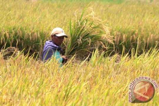 Luas tanaman padi di Banyuwangi lebihi target