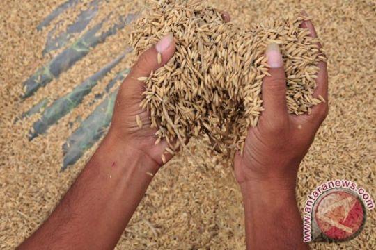 Petani padi Tabanan atasi serangan hama Tungro