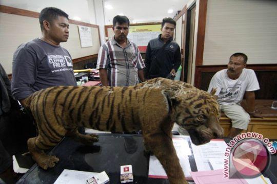 BKSDA Jambi tangkap pedagang liar harimau awetan