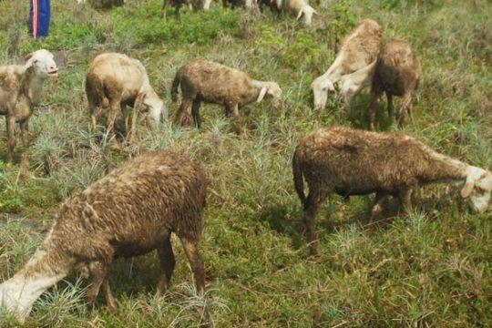Cara beternak kambing untung Rp 900 ribu/ekor