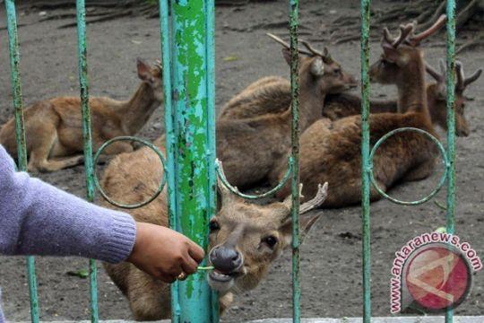 Bali Zoo evakuasi rusa dari zona merah Gunung Agung