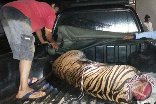 Polisi Aceh tangkap tiga pemburu harimau sumatera