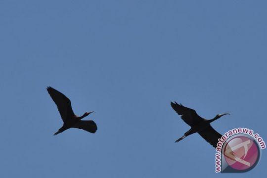 Sepertiga spesies burung di Eropa terancam punah