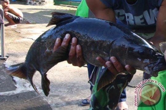 Ikan Dewa yang hampir punah bakal dibudidayakan di ibu kota baru