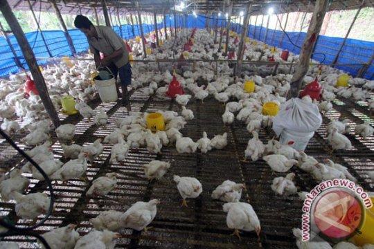 2.319 keluarga miskin Langkat dapat bantuan ternak ayam