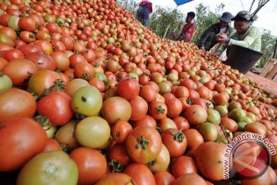 Harga tomat di Gorontalo terus merosot