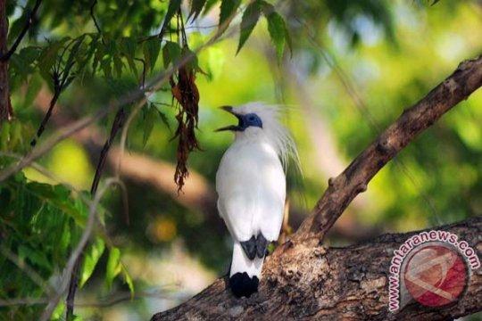 Desa di Bali lestarikan populasi burung jalak bali dengan awig-awig