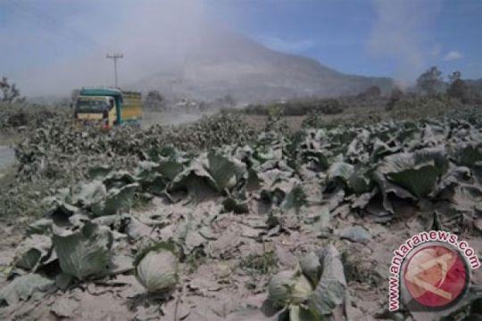 Lahar dingin Sinabung rusak lahan pertanian