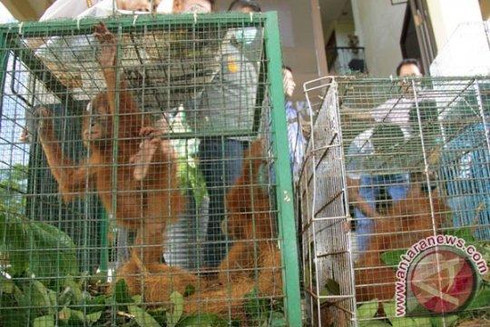 Polisi Riau gagalkan perdagangan orangutan