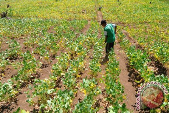 Luas panen kedelai bantul bertambah 98 hektare