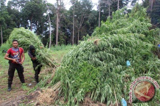 Polisi musnahkan 34 hektare ladang ganja di Aceh