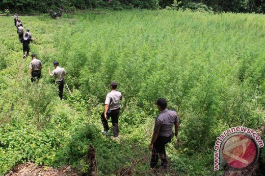 Polisi Keerom temukan ladang ganja
