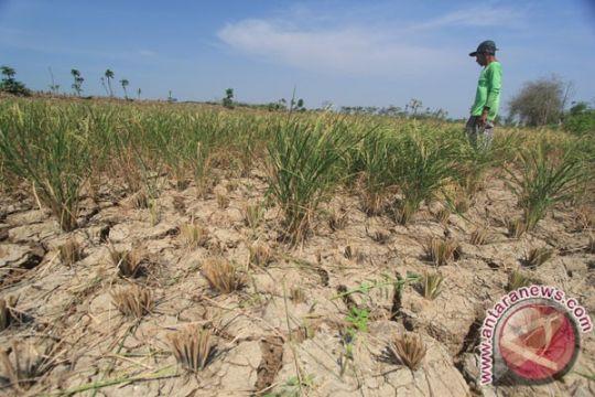 6.350 hektare sawah di Indramayu terancam puso